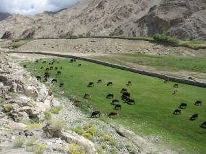 Wyrwane pustynnej krainie pastwisko